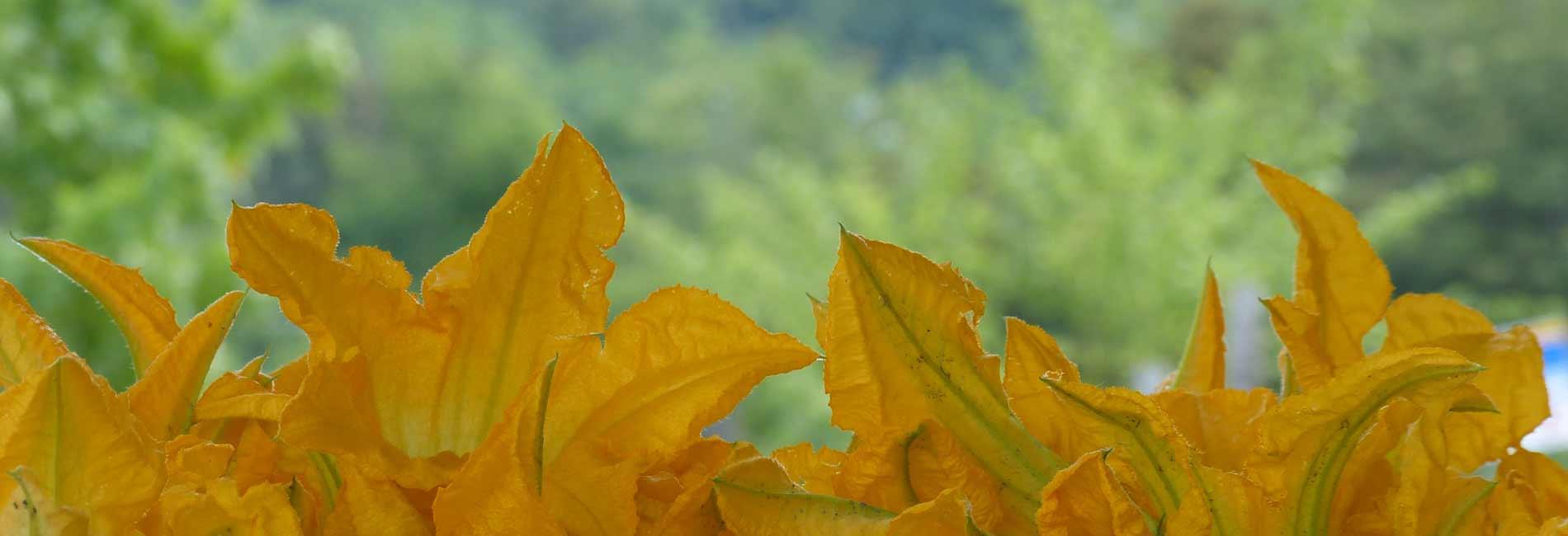 Foto dei fiori di zucca