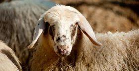 Primo piano di una pecora della fattoria